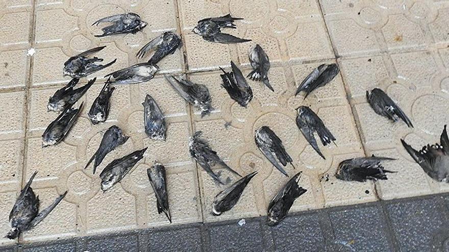Miles de golondrinas muertas tras refugiarse del frío en las ciudades