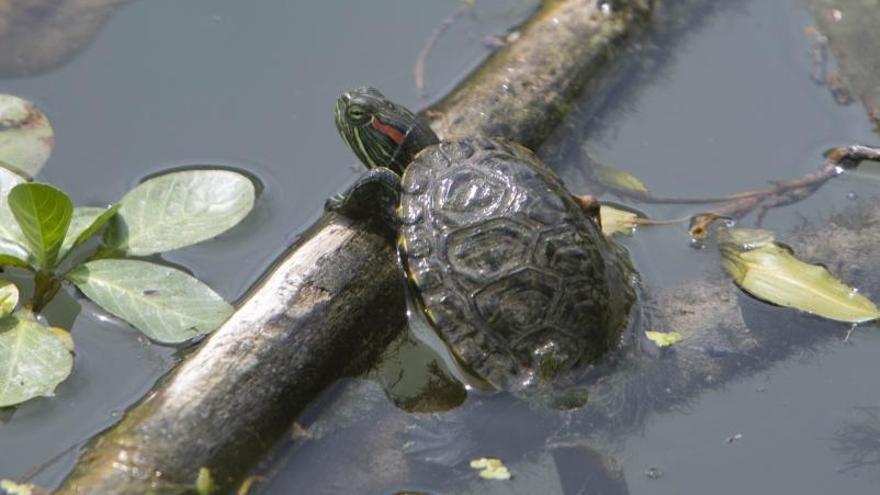 La tortuga invasora coloniza el Xúquer