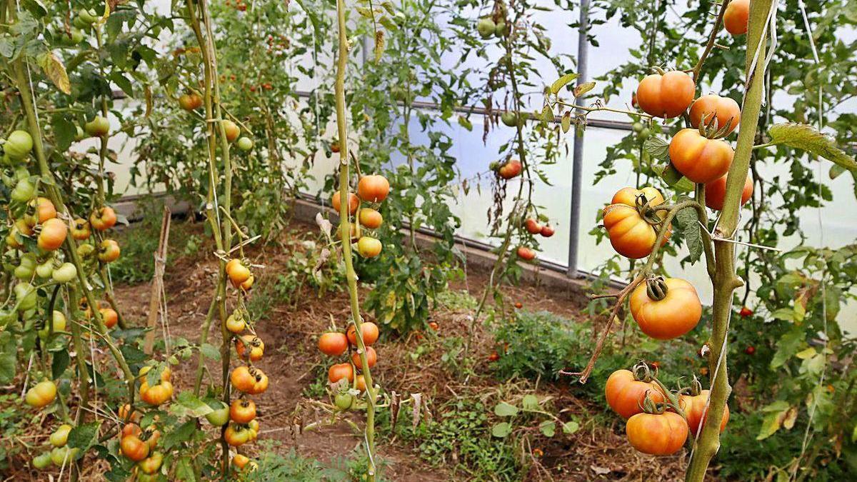 Plantación de tomates ecológicos.
