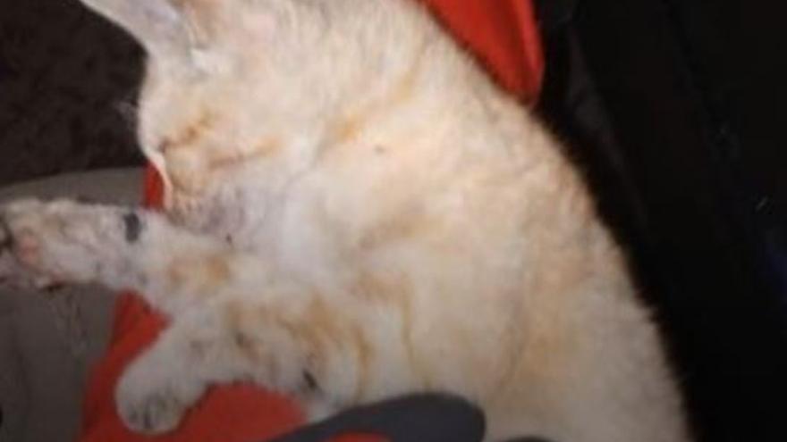 Un militar de la UME logra que vuelva a respirar un gato afectado por el volcán de La Palma