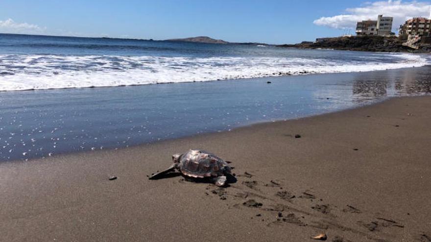 Liberan a una tortuga que se encontró herida en la solitaria playa de Las Canteras