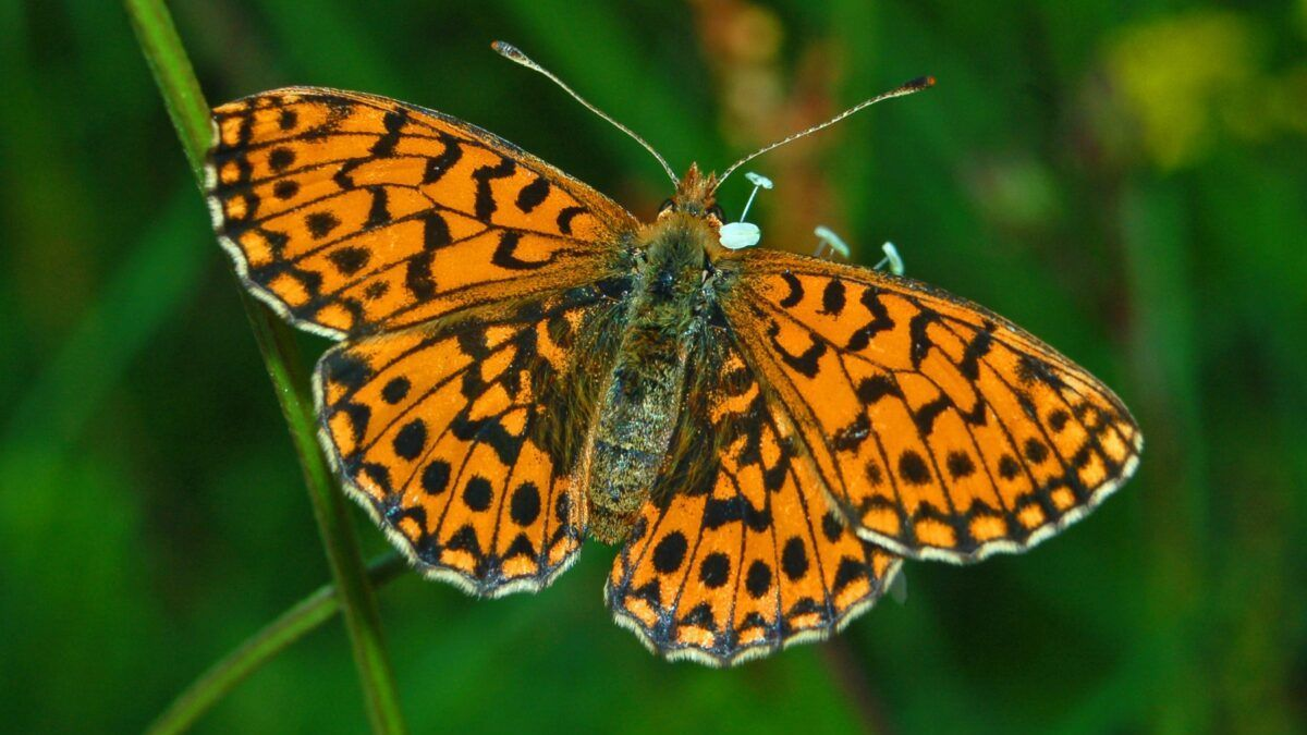 Las mariposas de zonas montañosas, más protegidas frente al cambio climático