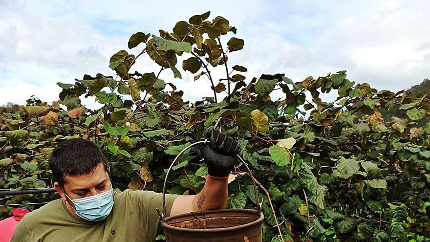 La cosecha de kiwi cayó en Asturias un 30% el año pasado, pero aportó frutos de gran calidad