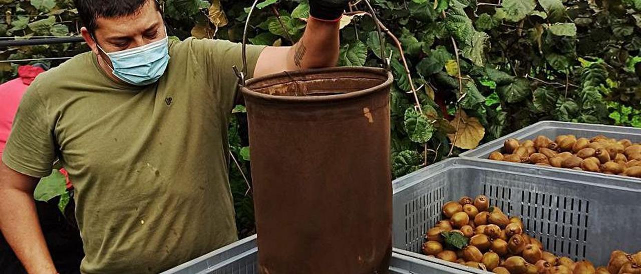 Recolección de kiwi en la vega de Repolles (Pravia) en noviembre. | S. Arias