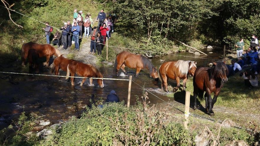 Espinavell recupera la Tria de Mulats amb la baixada de més de 300 animals