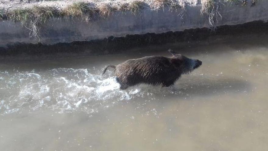 Rescatado un jabalí caído a una acequia en el Millars