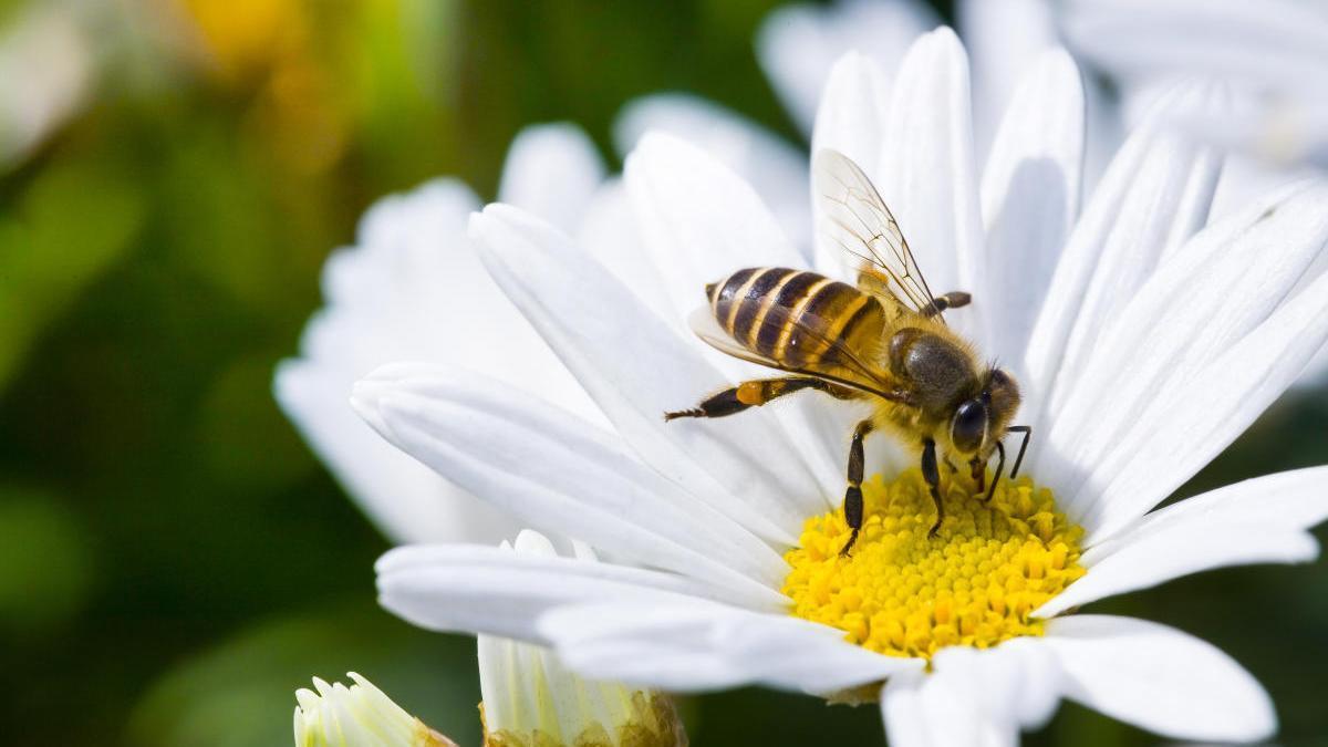 Una abeja recolectando polen.