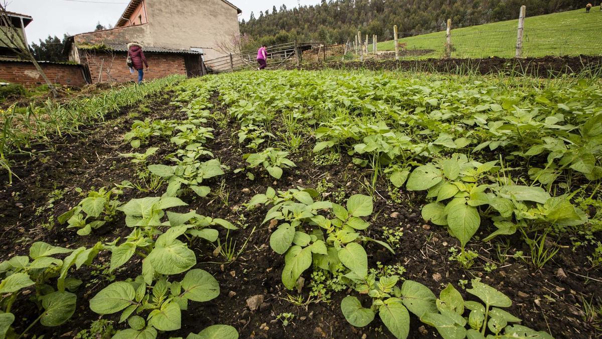 Una plantación de patatas en la zona central de Asturias.