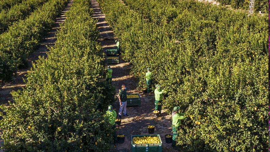 España, 'reina mundial' del limón