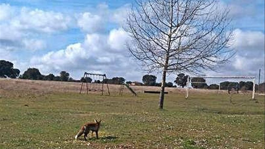 Un zorro que suele pasear por Villarino Cebal.