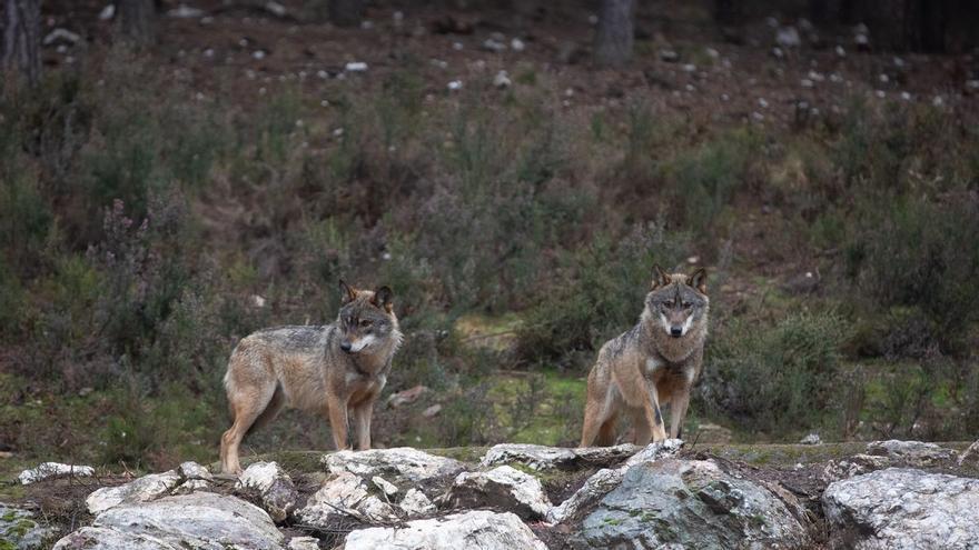 El Gobierno de Cantabria autoriza abatir 34 lobos hasta julio de 2022