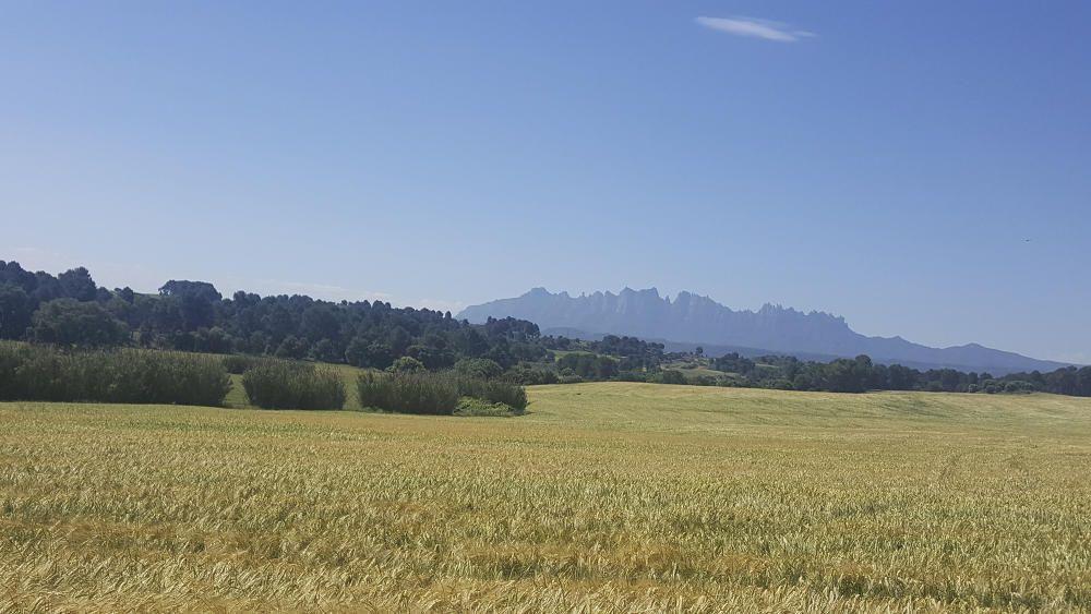 Cereals. En aquesta imatge podem veure camps plens de blat, amb el seu color groguenc. Camps del Bages amb la muntanya màgica per excel·lència de la comarca, Montserrat.