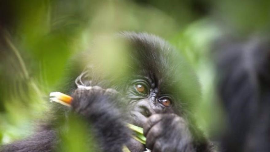EEUU vacuna contra la covid a nueve simios de un zoológico