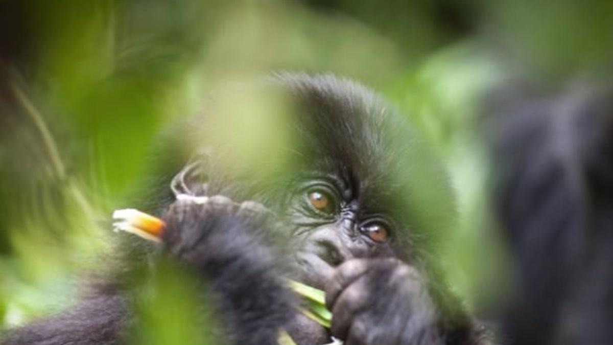 Imagen de archivo de un gorila.