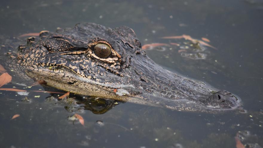 Un cocodrilo mata y se come a una niña frente a sus horrorizados amigos