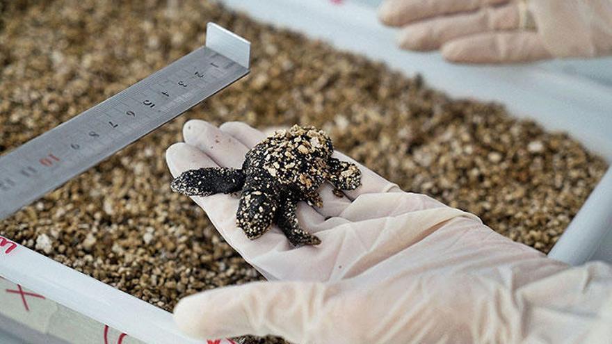 Babyschildkröten: zum Überleben nach Mallorca gekommen