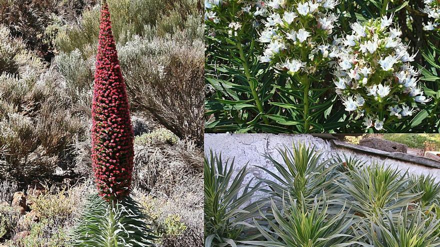 Las plantas exóticas invasoras en Canarias