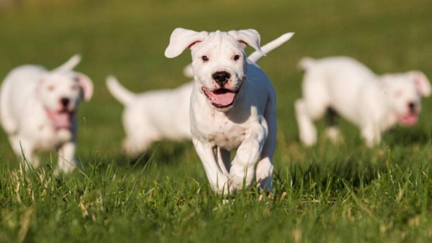 ¿Cuáles son las razas de perro que dejarán de ser potencialmente peligrosas?
