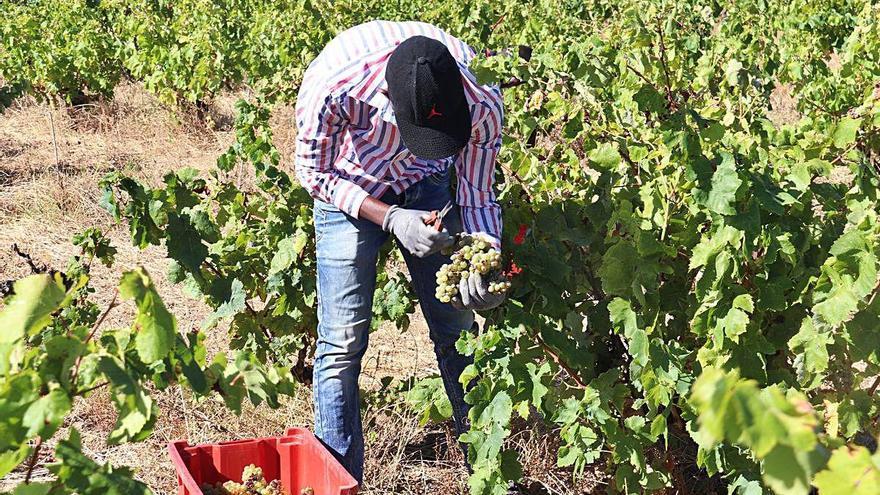 La verema ha donat menys raïm però un vi de més qualitat