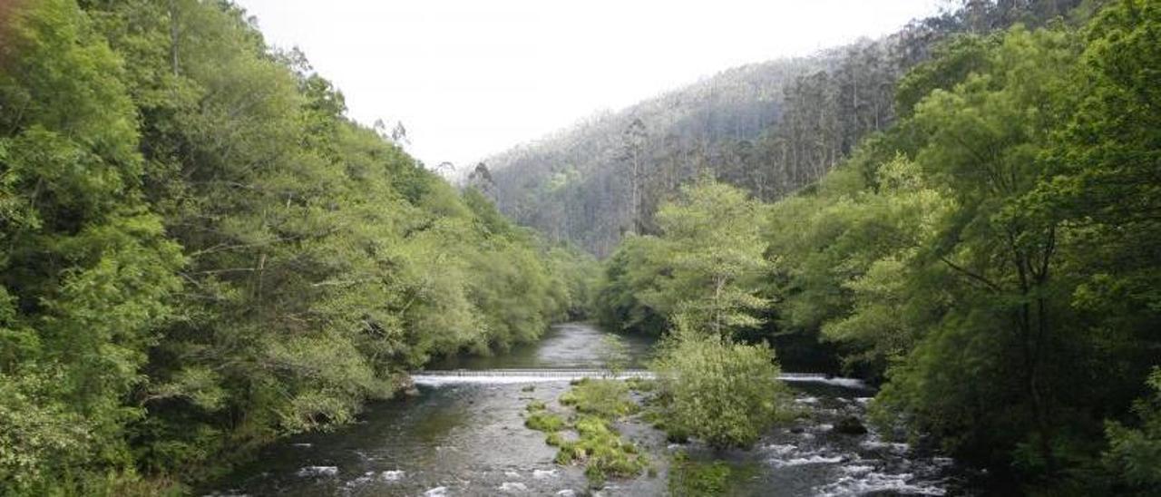 Imagen de las Fragas do Eume, con eucaliptos en el margen derecho del río
