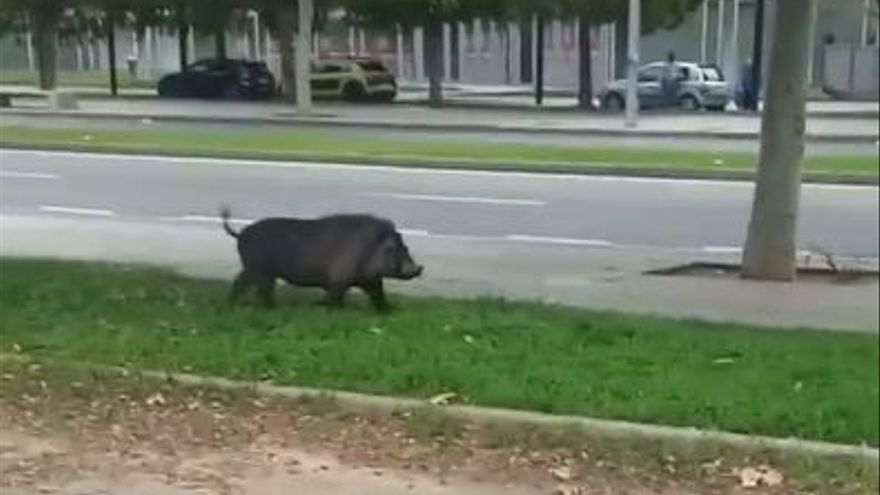 VÍDEO | Los cerdos vietnamitas, unos vecinos más de Castelló
