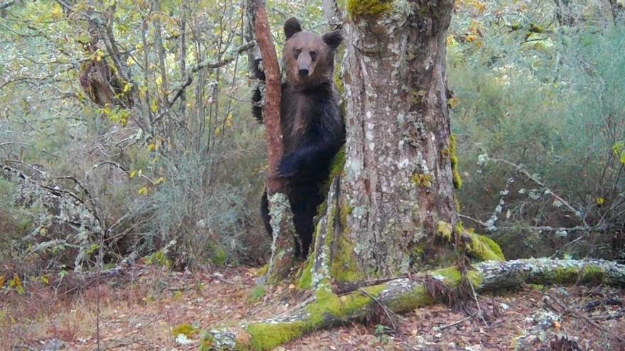 Filmado por primera vez un oso pardo en el Macizo Central Ourensán