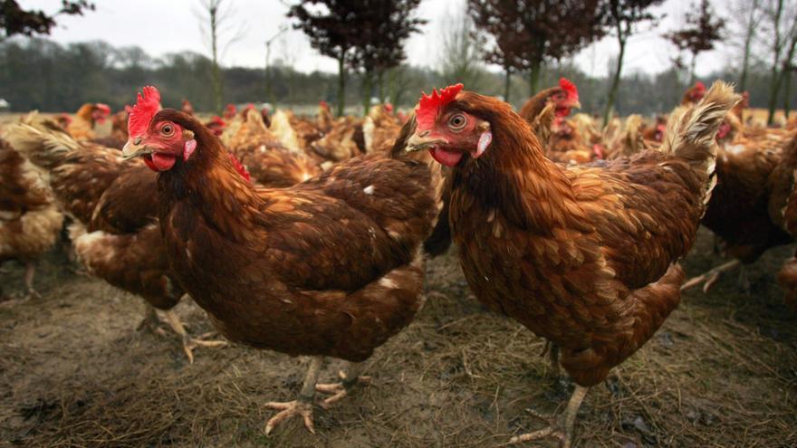 O Grove comunica que el riesgo de gripe aviaria ha disminuido