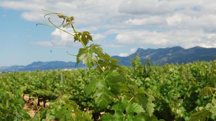 Panorámica de viñedos en la región vinícola de la DOP Valencia.  urban