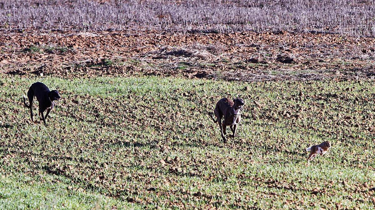 Dos galgos al acecho de una liebre en la campiña zamorana.