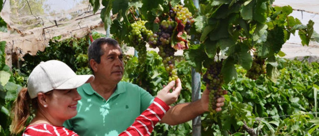 Las condiciones climáticas elevan un 20% la cosecha de uvas