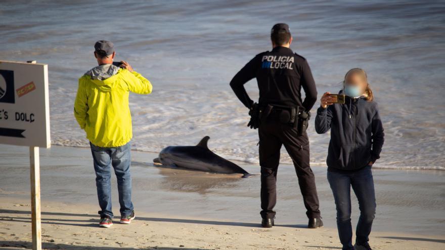 Aparece un delfín moribundo en la playa del puerto de la Colònia de Sant Jordi