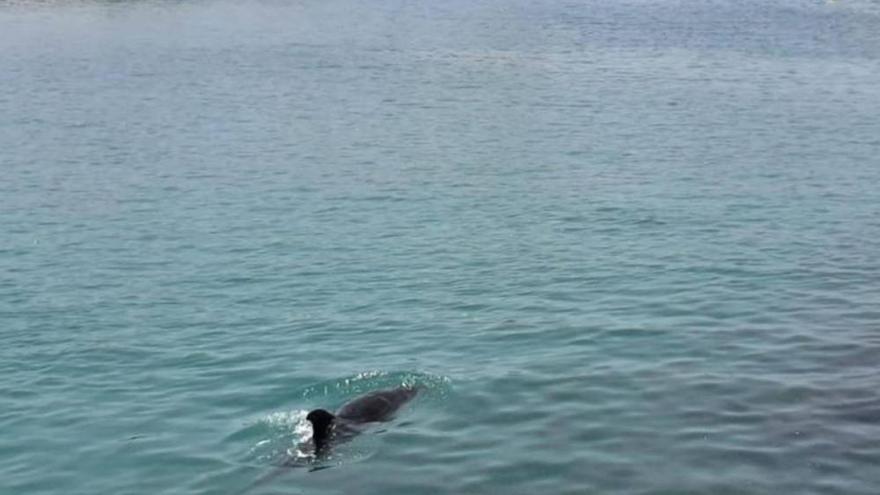 Usarán sonidos de orcas para que el delfín mular se aleje de la costa de Adeje