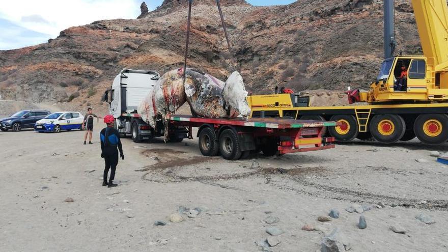 Retiran un cachalote muerto de 10 toneladas de una playa de Mogán