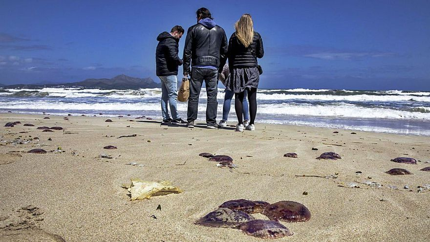 Medusas de gran tamaño llegan a Can Picafort y generan mucha curiosidad