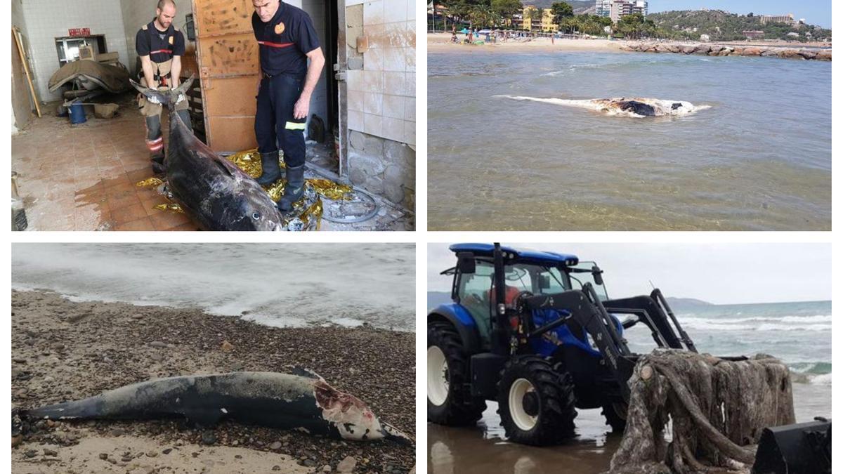 Varias imágenes de los ejemplares hallados en las playas de Castellón.