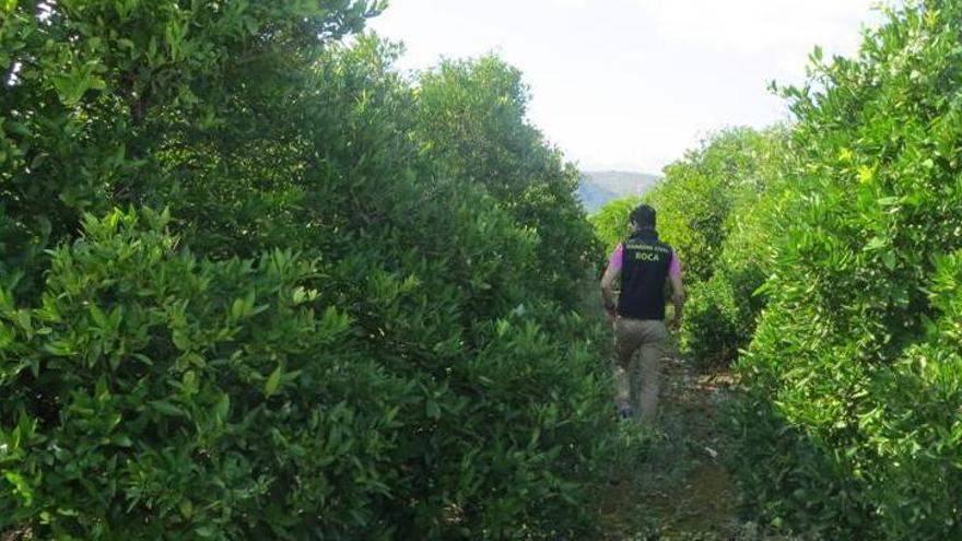 La Guardia Civil de Calp detecta 537 toneladas de naranja de origen irregular