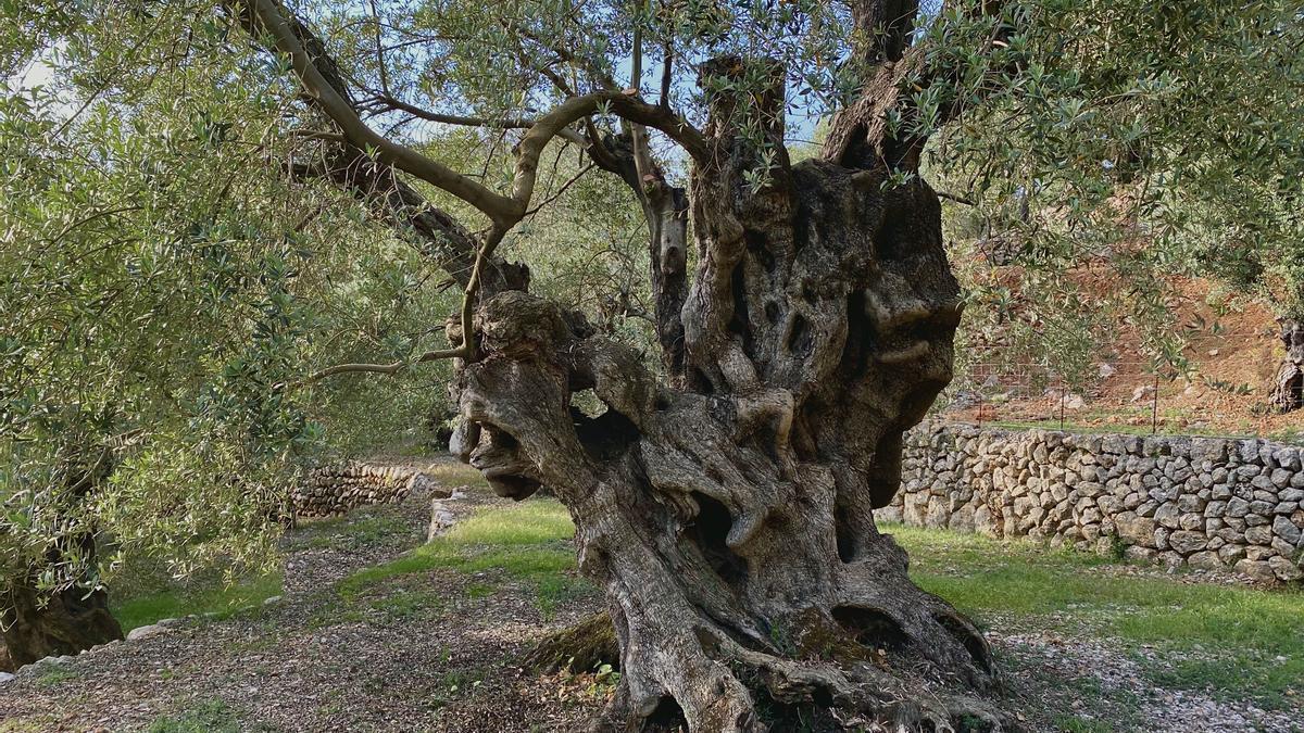 Es zählt nicht nur das Äußere: der siegreiche Olivenbaum zwischen Fornalutx und Biniaraix