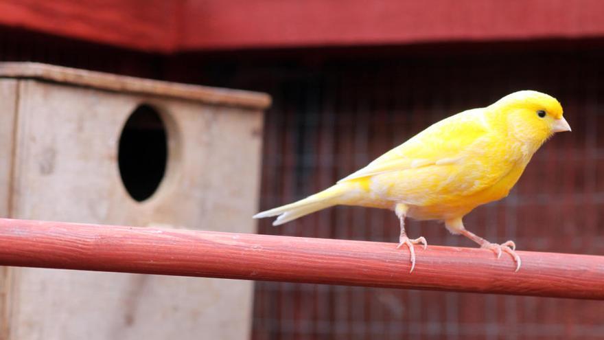 ¿Qué puedo hacer para que mi canario no moleste a los vecinos?