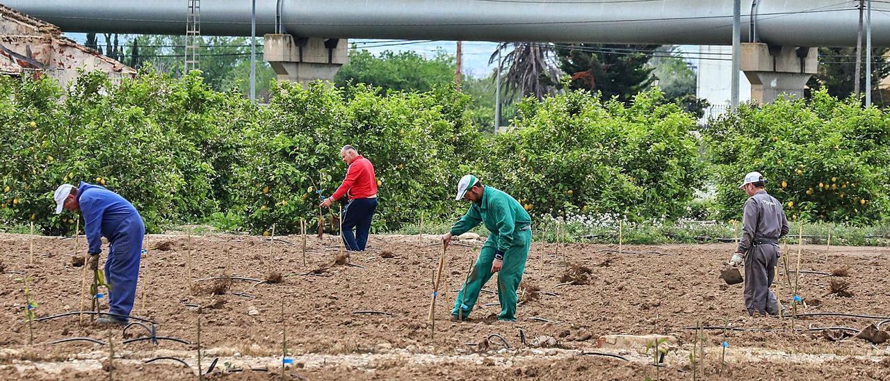 Tareas en un campo de cultivo de Orihuela junto a las tuberías del trasvase Tajo-Segura que transportan agua para el regadío. | TONY SEVILLA