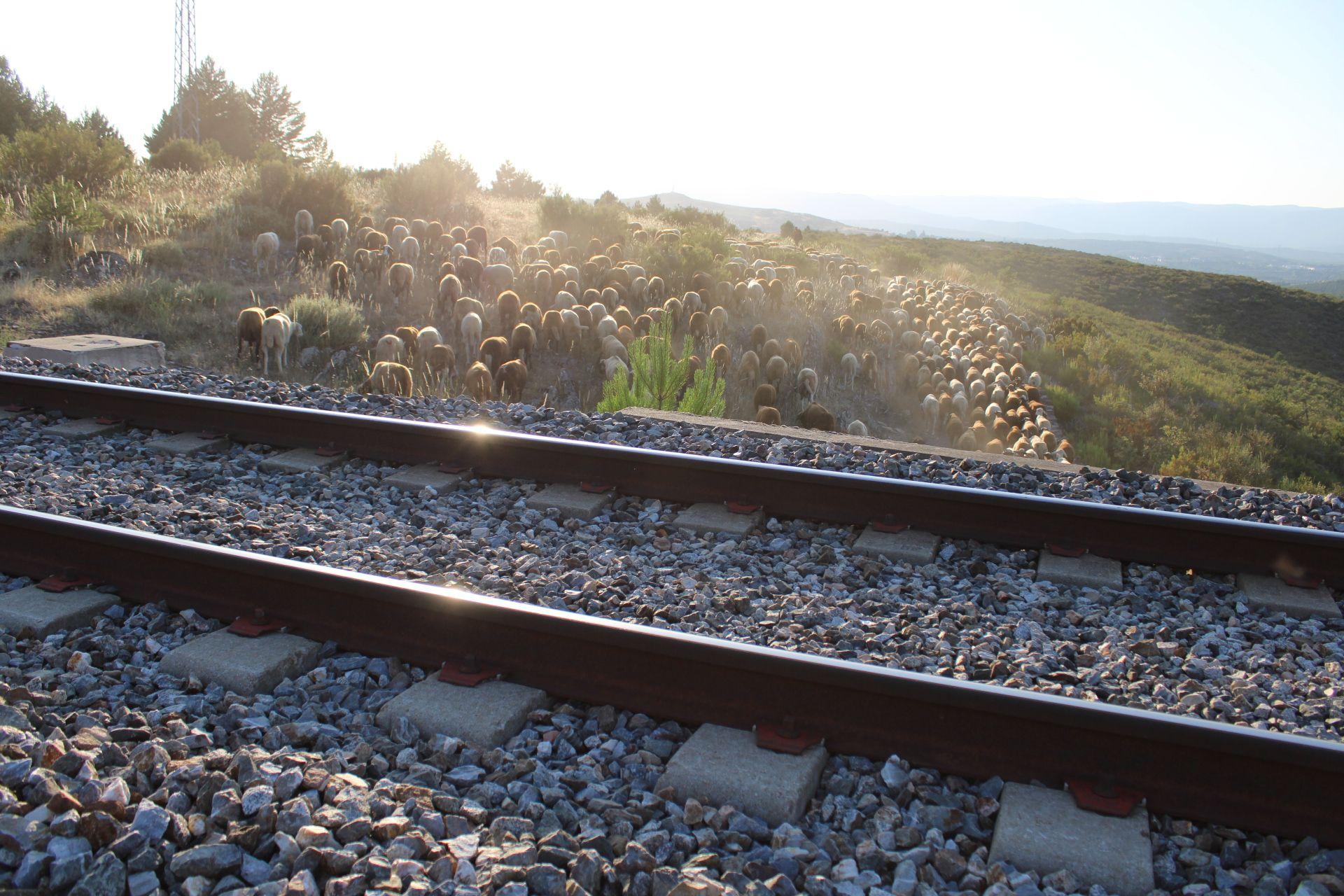 La cabaña trashumante se dispone a cruzar la vía del tren en Robledo.