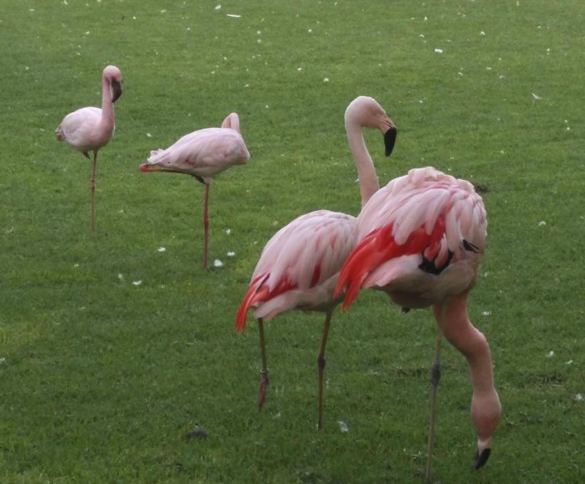 Flamencs.  Es tracta d'uns ocells molt esvelts, de 80-140 cm, amb llarguíssimes potes i coll. El bec és molt característic, i perfectament adaptat per furgar en el fang. Aquests són al parc del Puerto de la Cruz.