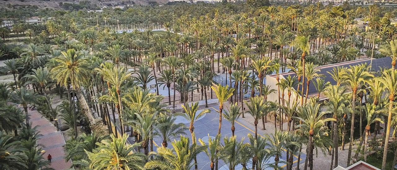 Vista del palmeral de Orihuela, el segundo con más ejemplares de Europa, tras el de Elche.