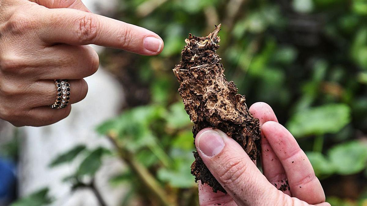 Un resto vegetal afectado por las termitas.