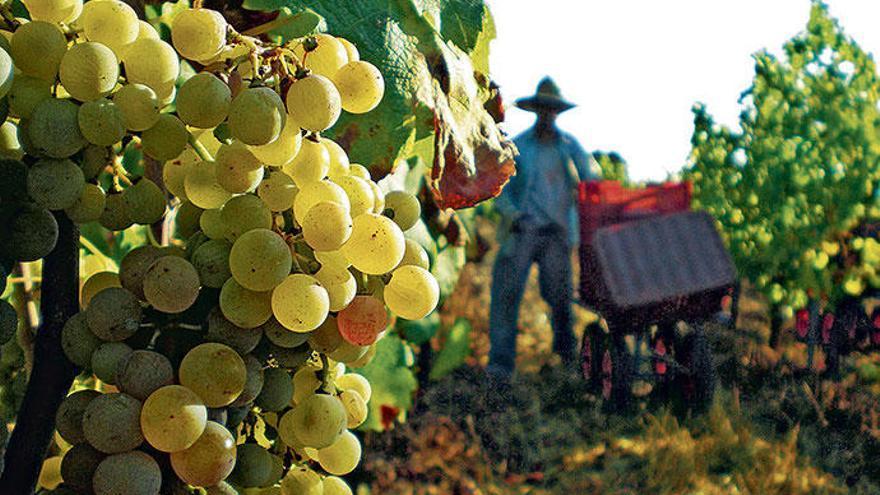 Der Wein von Mallorca boomt, die Oliven schwächeln