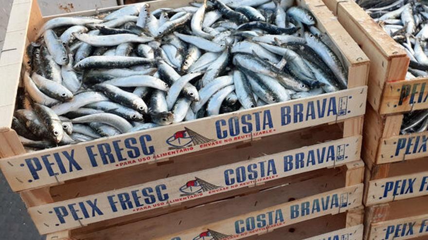 Les sardines de la costa catalana son cada vegada més petites, més joves i en pitjor estat de salut