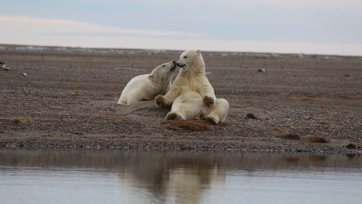 Osos polares en el Refugio Natural de Vida Silvestre del Ártico.