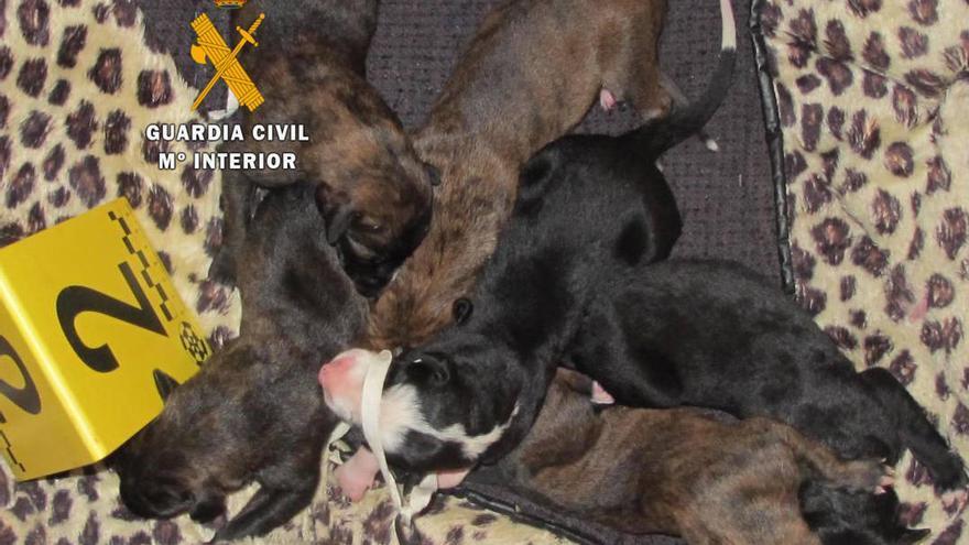 Rescatan a seis cachorros de galgo abandonados en un descampado de Toro