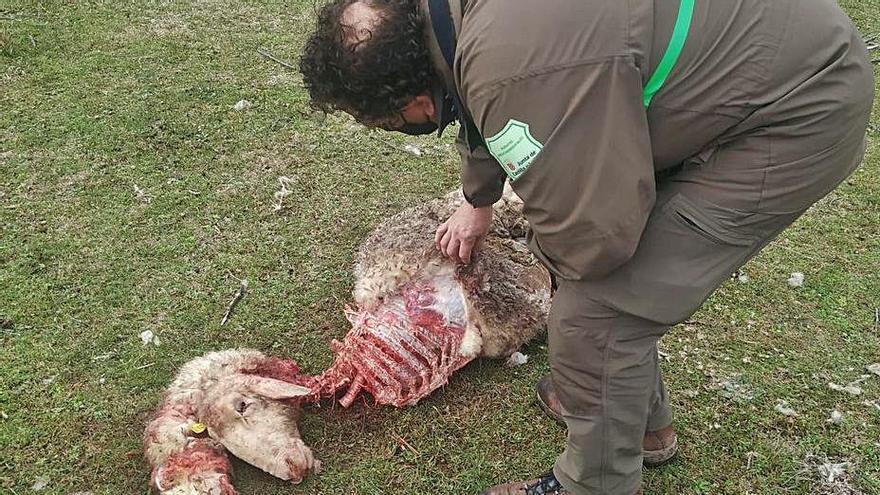 Los lobos matan tres ovejas de raza autóctona en una granja de Molacillos