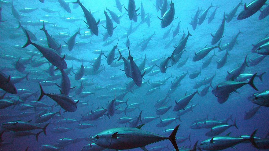 ¿Es el atún rojo una nueva plaga para el Mediterráneo?