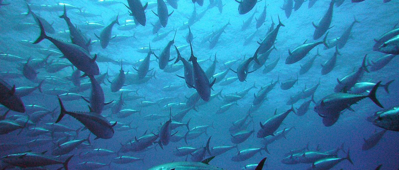 El atún rojo es una especie característica del Mediterráneo.    F. SÁNCHEZ VILLAREJO
